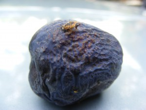 Unidentified critter on plum